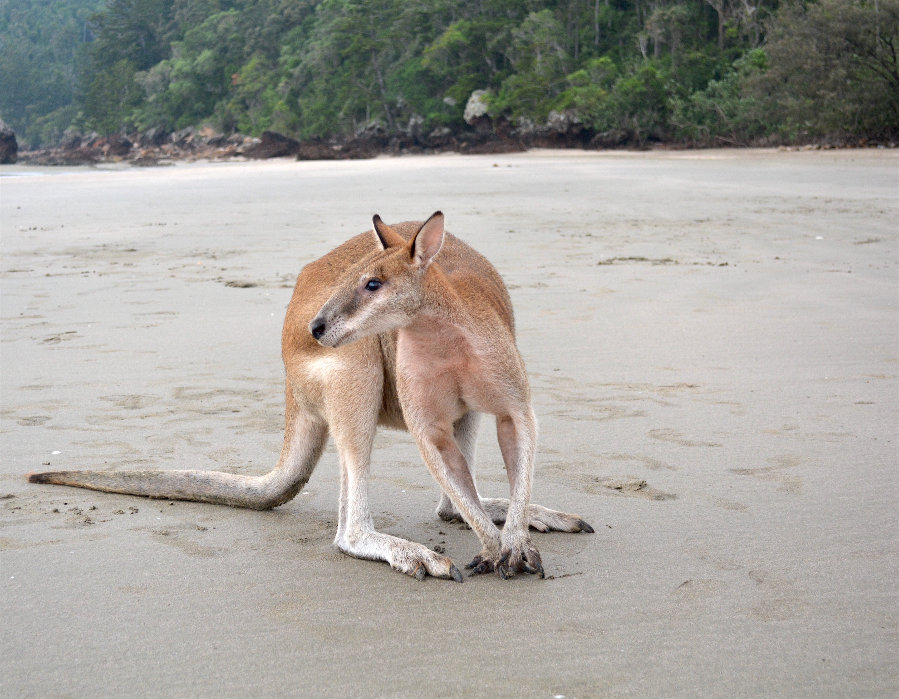 Kangaroos At Cape Hillsborough Queensland Woody World Packer